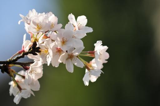 桜が呼んでいる