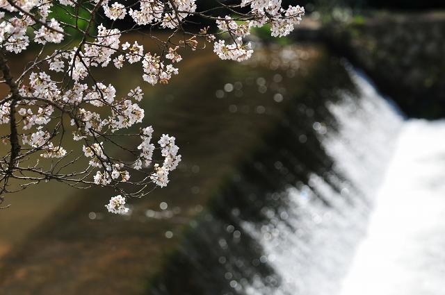 法勝寺川と桜