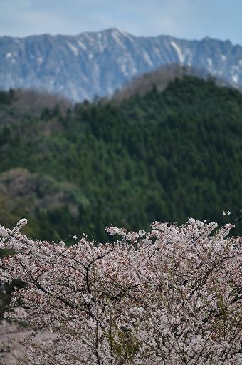桜と冠雪した大山