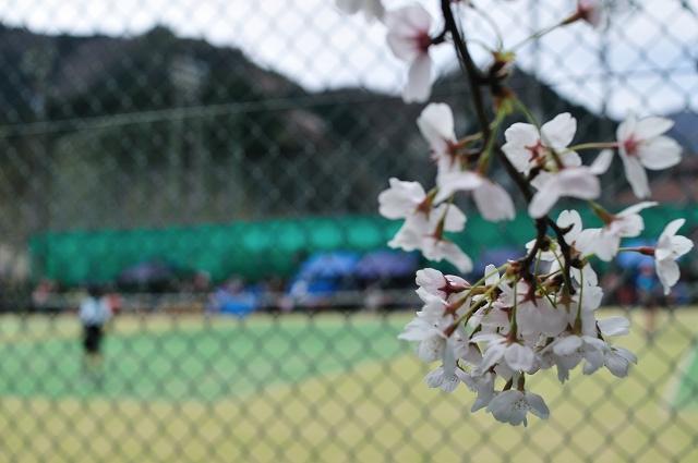 コートの側には桜が