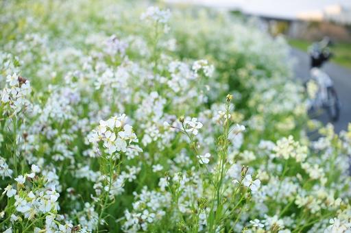 土手下は白い花