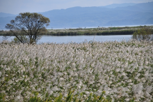 斐伊川河口にはススキが茂る