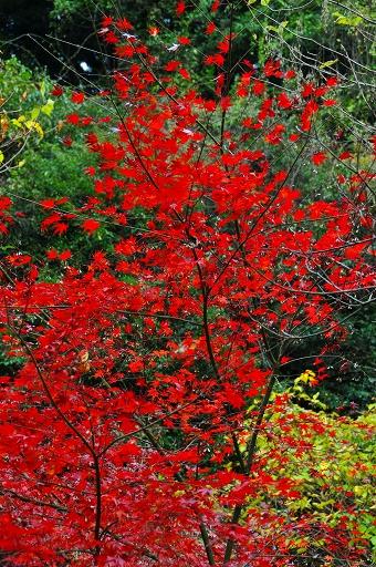 本来、この場所はもっと紅葉が多い