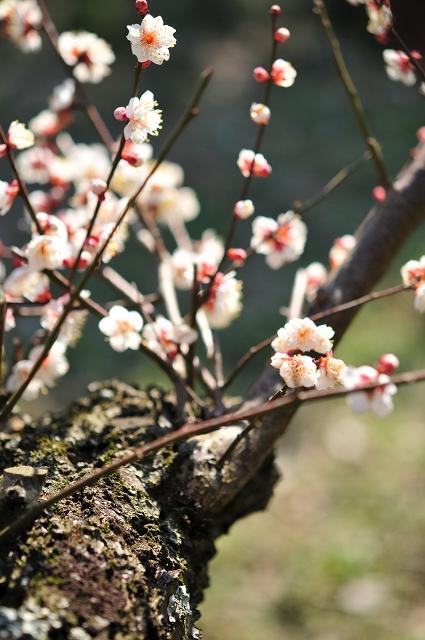 桜にも似ている