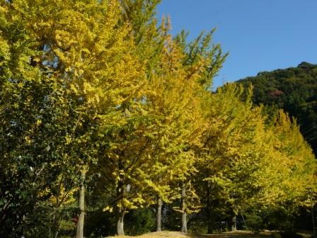 桜三里の銀杏並木 2