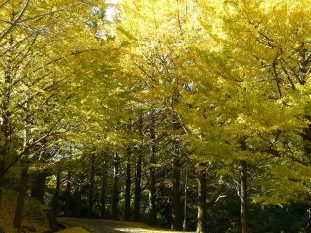桜三里の銀杏並木 1