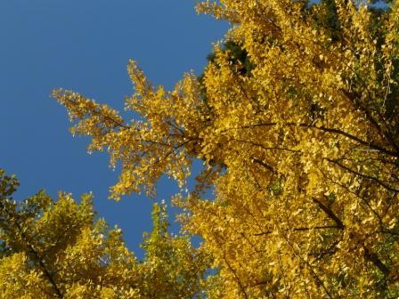 桜三里の銀杏並木 3