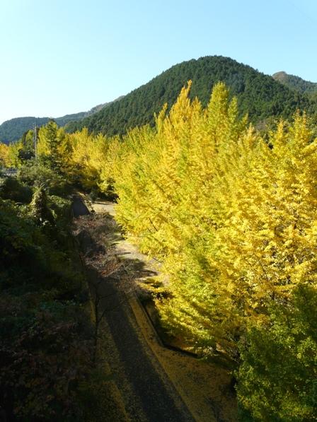 桜三里の銀杏並木 4