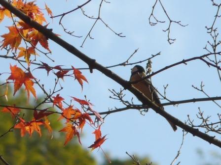 紅葉と小鳥