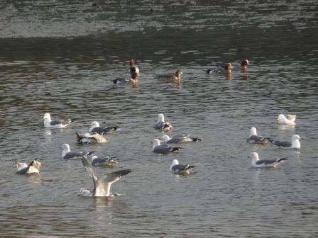 立岩川河口 ウミネコ&ヒドリガモ