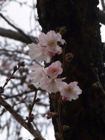 十月桜 4