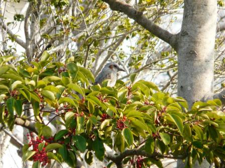 杖ノ淵公園 ヒヨドリ