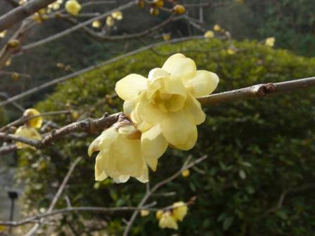 松山総合公園 ソシンロウバイ 1