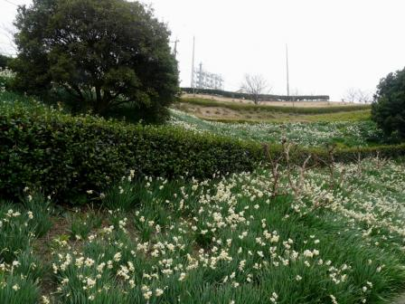 大角海浜公園 日本水仙 1