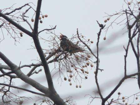 森の交流センター(1月23日) ムクドリ 1