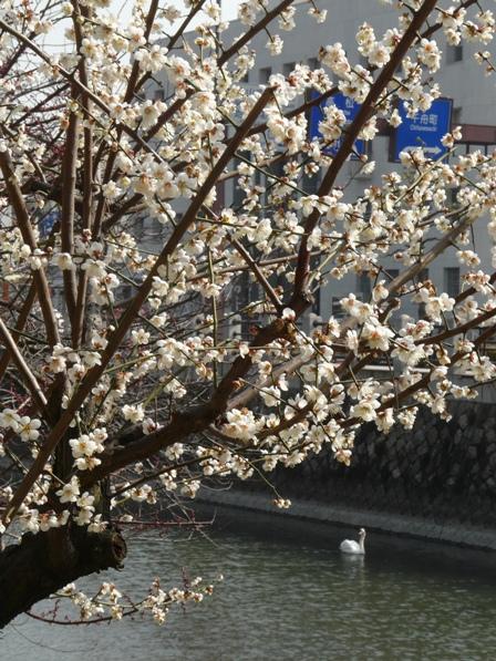 堀之内公園 白鳥と梅 1
