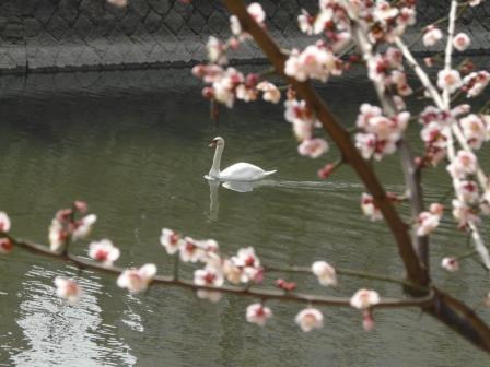 堀之内公園 白鳥と梅 2