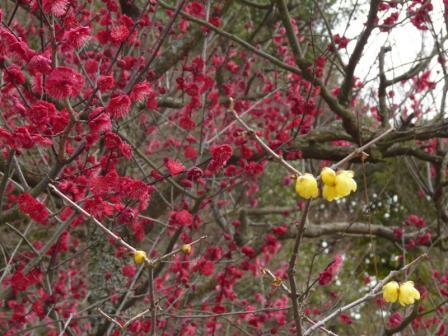 松山城二之丸史跡庭園 紅梅と蝋梅
