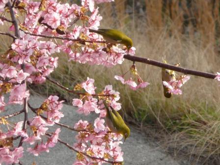 サンライズ糸山 河津桜とメジロ 1