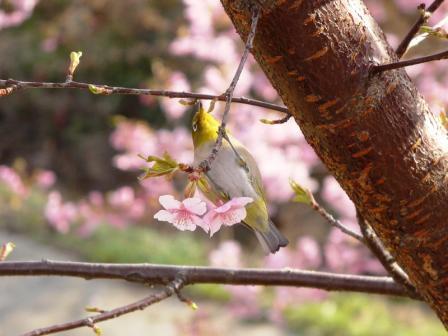 サンライズ糸山 河津桜とメジロ 2