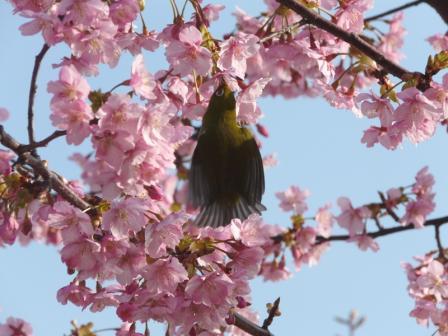 サンライズ糸山 河津桜とメジロ 3