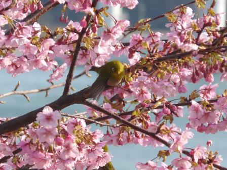 サンライズ糸山 河津桜とメジロ 4
