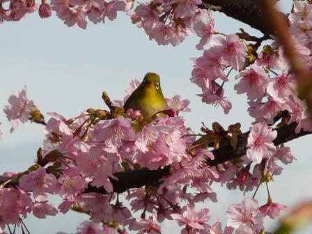 サンライズ糸山 河津桜とメジロ 5