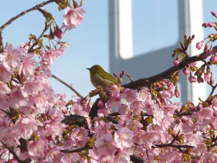 サンライズ糸山 河津桜とメジロ 6