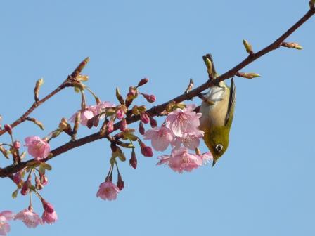 サンライズ糸山 河津桜とメジロ 7