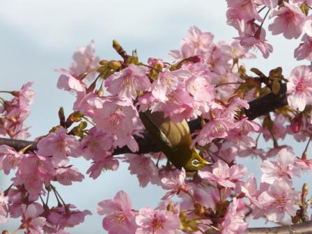 サンライズ糸山 河津桜とメジロ 8