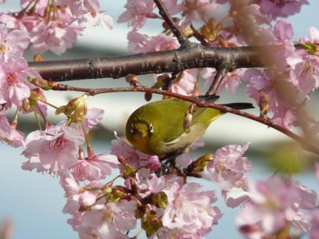 サンライズ糸山 河津桜とメジロ 9