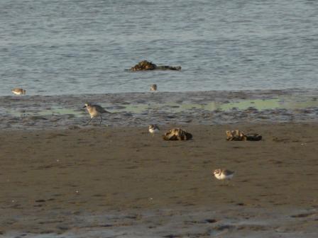 重信川河口の鳥たち