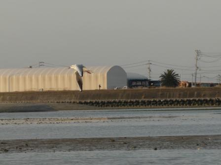 重信川河口 ユリカモメ