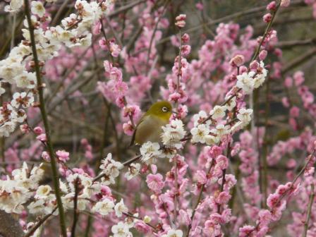 七折梅園 梅とメジロ 2
