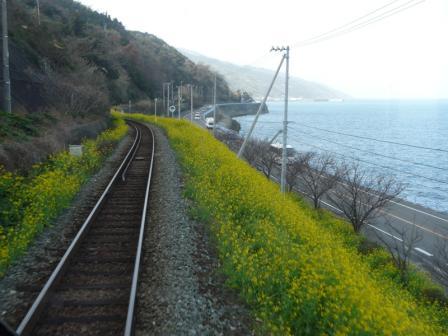 双海の菜の花 列車の中から (行き)