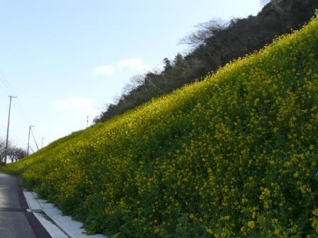 双海の菜の花 2