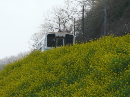 双海の菜の花とキハ32 (3)