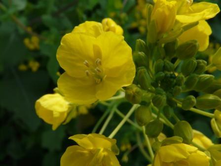 双海の菜の花 3