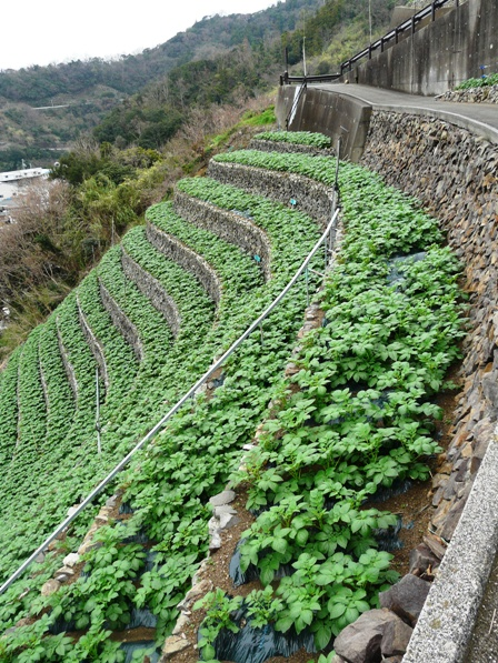 遊子・水荷浦の段畑 2