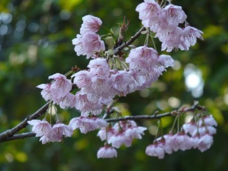 城山 椿寒桜