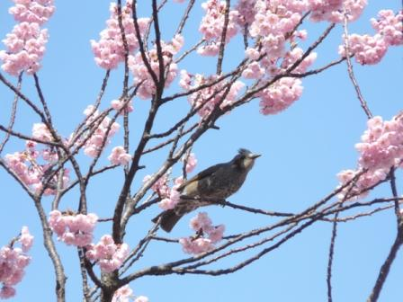 椿寒桜 ヒヨドリ 2