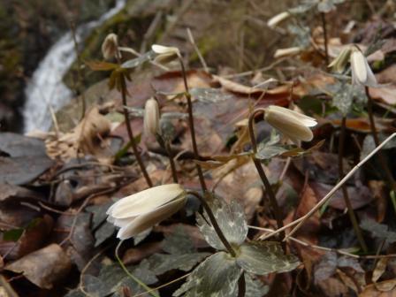 白猪の滝 ユキワリイチゲ 2