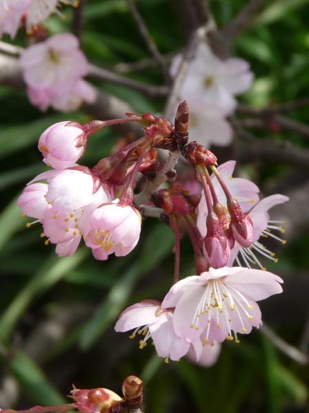十六日桜 4