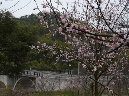 松山総合公園 アンズ 1
