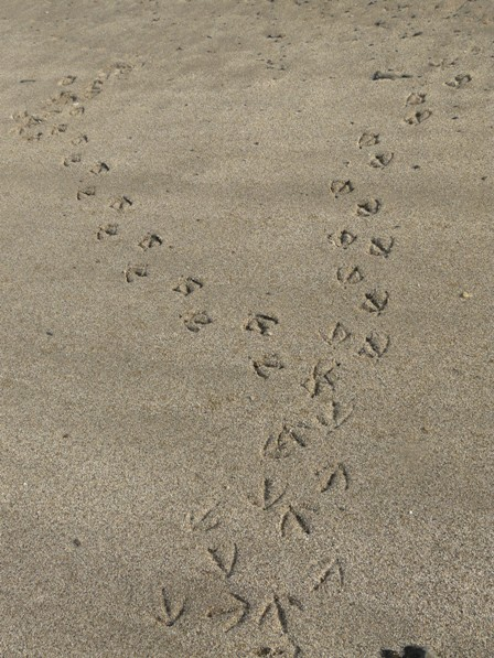 重信川河口 鳥の足跡