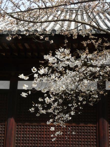 大宝寺のうば桜 3月17日 2