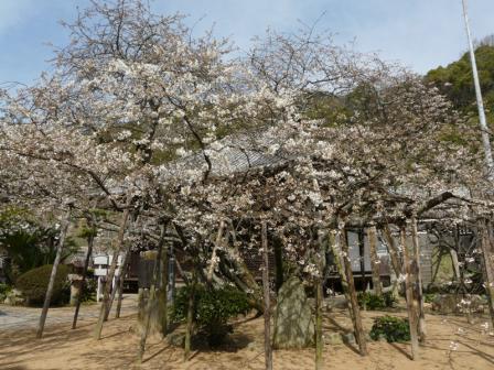 大宝寺のうば桜 3月17日 1