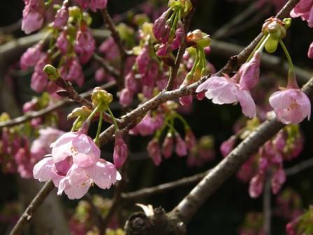 松山総合公園 桜・陽光 1