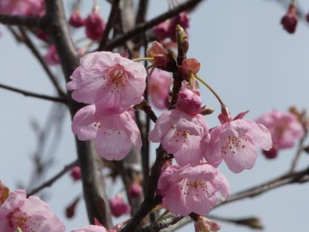 松山総合公園 桜・陽光 2