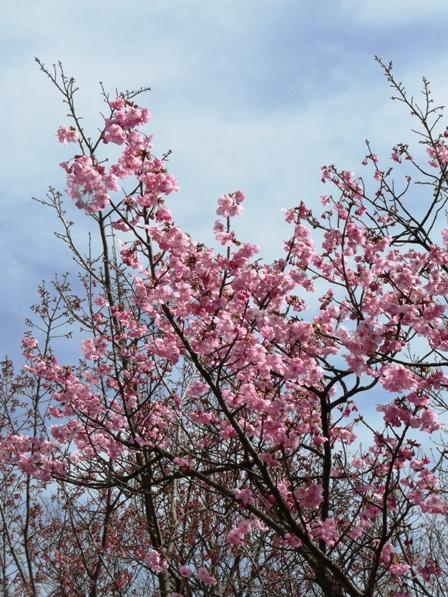 松山総合公園 桜・陽光 3